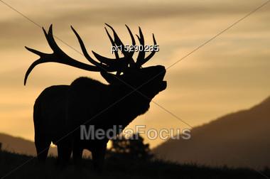 Red Deer Stag, Cervus Elephus, Roaring At Sunset In Westland, New Zealand Stock Photo