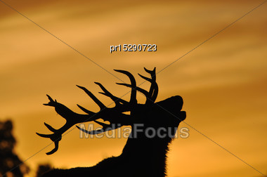 Red Deer Stag, Cervus Elephus,roaring At Sunset In Westland, New Zealand Stock Photo