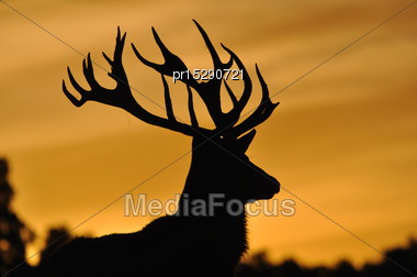 Red Deer Stag, Cervus Elephus, At Sunset In Westland, New Zealand Stock Photo