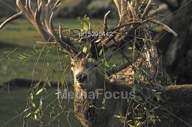 Red Deer Stag, Cervus Elephus, Tangled With Bush Lawyer Vine, In Westland, New Zealand Stock Photo