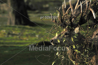 Red Deer Stag, Cervus Elephus, Tanlged With Bush Lawyer Vine In Westland, New Zealand Stock Photo