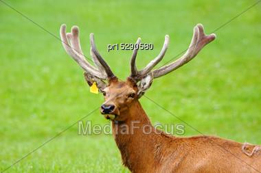 Red Deer Stag, Cervus Elephus, In Velvet, Westland, New Zealand Stock Photo