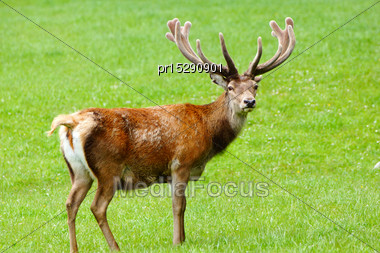 Red Deer Stag, Cervus Elephus, In Velvet, Westland, New Zealand Stock Photo