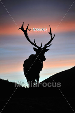 Red Deer Stag At Sunset, West Coast, South Island, New Zealand Stock Photo