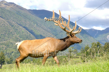 Red Deer Stag In Velvet, West Coast, South Island, New Zealand Stock Photo