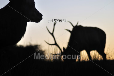 Red Deer Stags At Sunset, West Coast, South Island, New Zealand Stock Photo