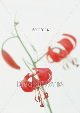 Red flower, Coral Lily Stock Photo