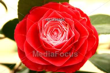 Red Flower For Greeting Card Stock Photo
