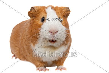 red guinea pig Stock Photo