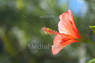 Red Hibiscus On Background Of Green Garden And Blue Sky Stock Photo