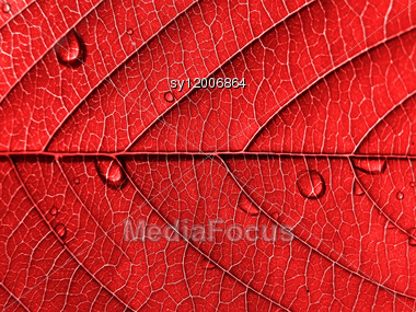 Red Leaf with Water Drops Stock Photo