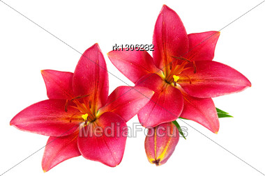 Red Lilies With Green Leaves Stock Photo