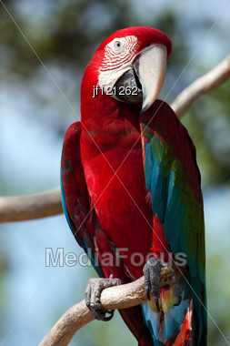 Red Macaw Perched On A Tree Branch. Stock Photo