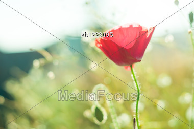 Red Poppies In The Field With Nature Light Stock Photo