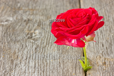Red Rose Growing In Old Wood Floor Stock Photo