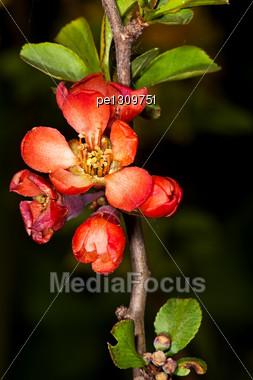 Red Sakura Flower In The Garden Around Moscow Stock Photo