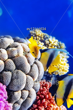 Red Sea Bannerfish In The Red Sea. Egypt, Africa Stock Photo