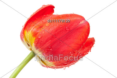 Red Tulip Flower With Water Droplets Stock Photo
