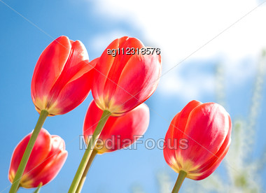 Red Tulips And Blue Sky. Spring Comes Stock Photo