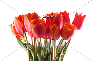 Red Tulips Bouqet With Dew On White Stock Photo