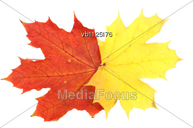 Red And Yellow Maple Autumn Leaves Stock Photo