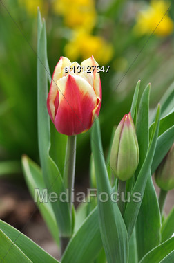 Red And Yellow Tulip And Bud In The Garden Stock Photo