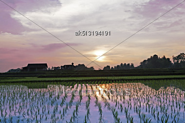 Rice Field At The Sunset Stock Photo