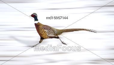 Ring Neck Pheasant On The Run Sasl Stock Photo
