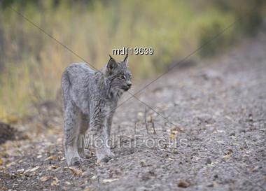 Rocky Mountain Lynx Alberta Canada Close Young Stock Photo