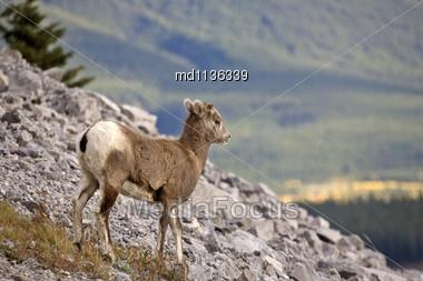 Rocky Mountain Sheep Alberta Canada Young Kid Stock Photo