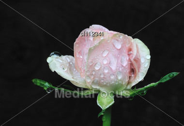 Rose Bud After Morning Rain. Beautiful Flower In Garden Stock Photo