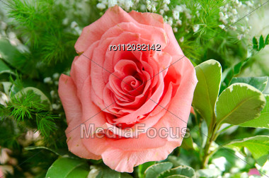 Rose Flower Closeup, Natural Background Stock Photo
