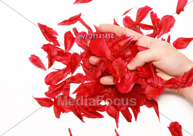 Rose Petals In A Hands. Isolated Stock Photo