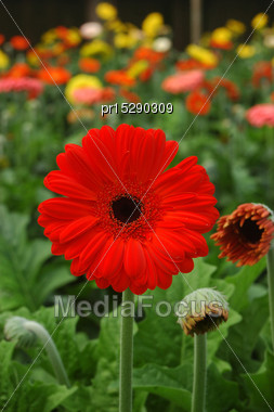 Rows Of Gerberas Growing In Commercial Hothouse Stock Photo