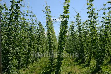 Rows Of Hop Bines Growing Near Nelson, New Zealand Stock Photo
