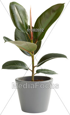 Stock Photo Rubber Tree In Pot Clipart Image 61082002 Rubber