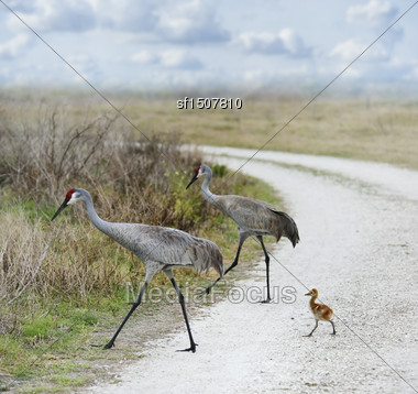 Sandhill Cranes Family Crossing A Country Road Stock Photo