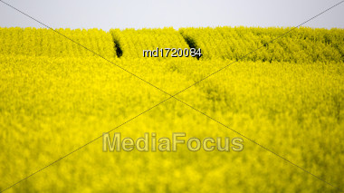 Saskatchewan Farmland In Summer Crops Canola Yellow Stock Photo