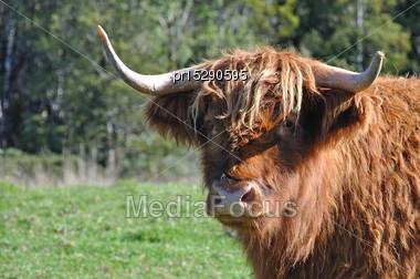 Scottish Highlander Cattle Beast, West Coast, New Zealand Stock Photo