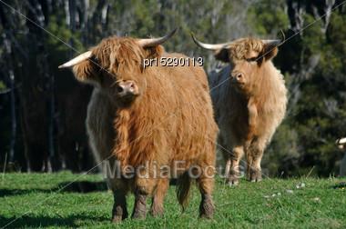 Scottish Highlander Cattle, West Coast, New Zealand Stock Photo