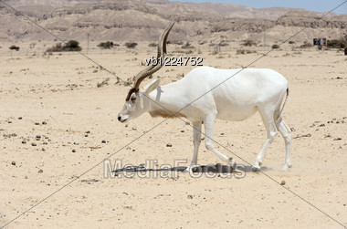 Screwhorn Antelope In The Reserve Hai-Bar Yotvata In Southern Israel. Stock Photo
