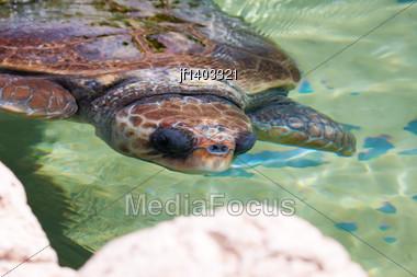 Sea Turtle Under Water A Near Rock Stock Photo