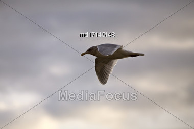 Seagull In Flight In Canada Cloudy Sunset Stock Photo
