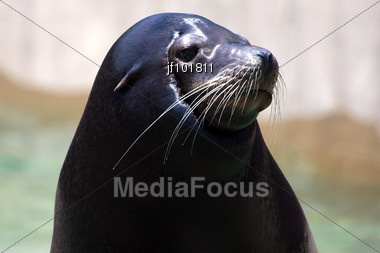 Seal Posing For A Photograph At The Zoo Stock Photo
