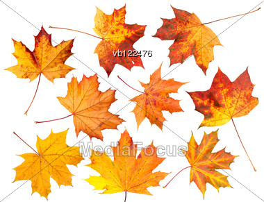 Set Of Yellow And Red Autumn Maple Leaves Stock Photo
