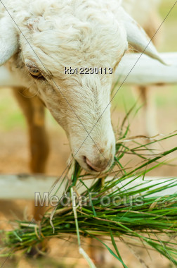 Sheep Eating Grass In Corral With Naturelight Stock Photo