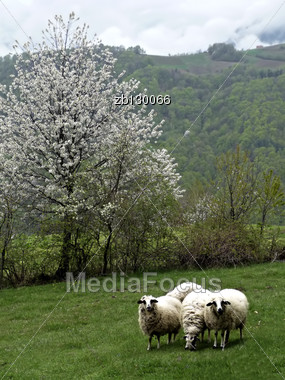 Sheeps Eating Fresh Green Grass At Meadow, White Blossom Tree At Background. Stock Photo