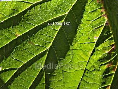 Sheet Tree Stock Photo
