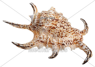 Shell With Long Spikes, Isolated On White Background Stock Photo