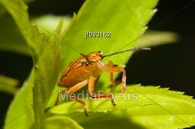 Shield Bugs, Also Known As Stink Bugs Walking On A Plant Stock Photo